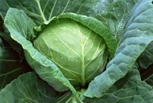 Tự trồng bắp cải với 5 bước dễ dàng