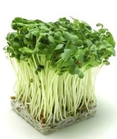 Hạt giống Rau Mầm Củ Cải Trắng 100g