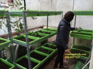 Hình ảnh vườn rau sạch đường Láng, Hà Nội