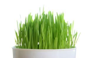 Hạt giống mầm lúa mạch
