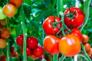 6 Bước tự trồng Cà chua sạch trong nhà phố