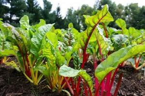 Hướng dẫn trồng cải cầu vồng siêu đẹp trong vườn nhà