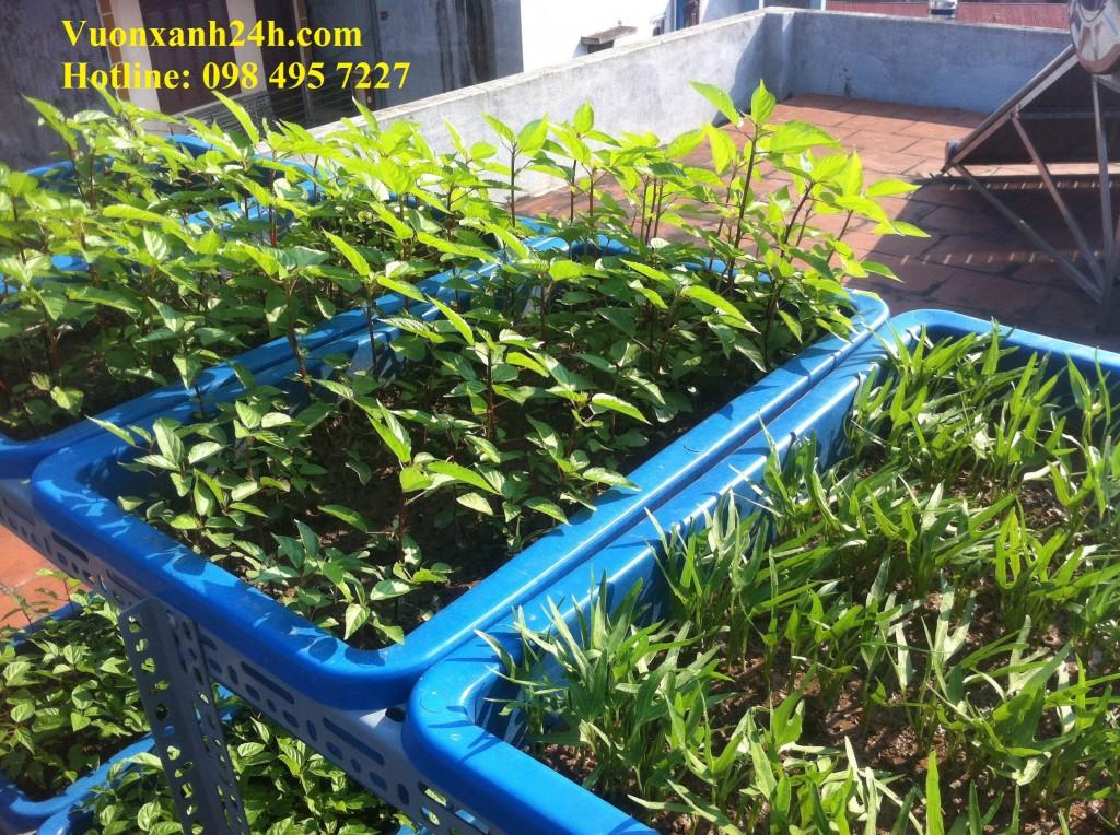 Không phụ công chăm bón của gia chủ, những cây rau đã đến ngày thu hoạch
