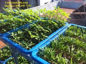 Đã mắt với vườn rau sạch tại Thịnh Liệt