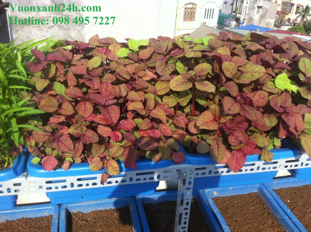 Những cây rau dền đỏ cũng đang chờ được thu hoạch