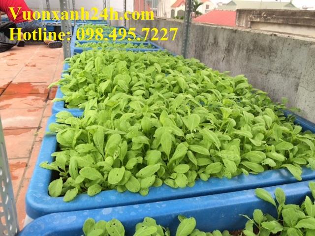 Vườn rau sạch sân thượng - Giáp Nhị