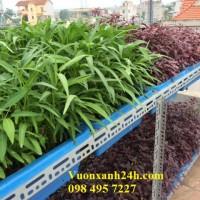 Những khay rau sạch không ngừng cho thu hoạch