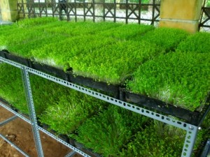 Cách trồng rau mầm không cần đất đơn giản nhanh thu hoạch