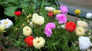 Hạt giống hoa mười giờ Mix