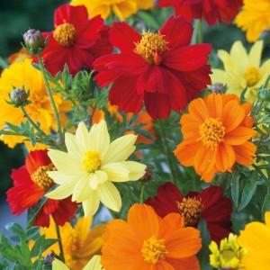 Giống hoa mặt trời đỏ