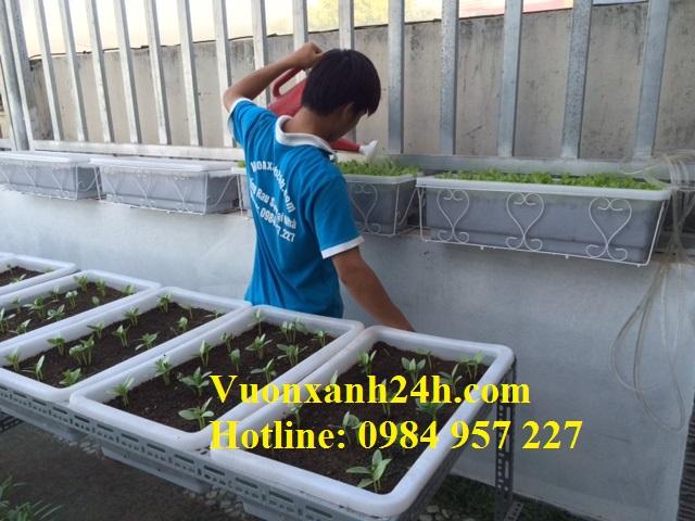 Vườn rau sân thượng tại An Dương đang được chăm sóc