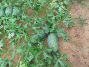 Hạt giống dưa hấu dài