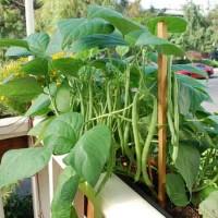 Hạt giống đậu cove lùn