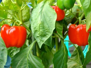 Hạt giống ớt chuông đà lạt 0,5gr