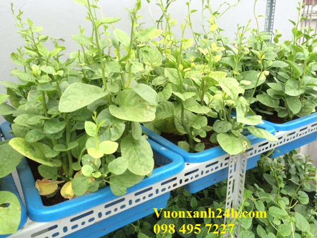 Cách trồng rau sạch ngay tại nhà cho năng suất cao