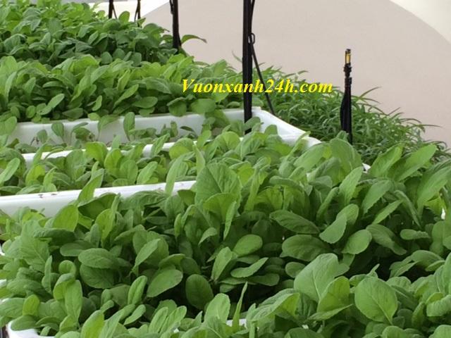 Vườn rau sạch giữa Hà Thành