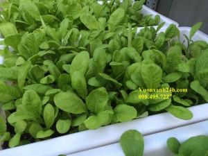 Giàn trồng rau sạch tại nhà.