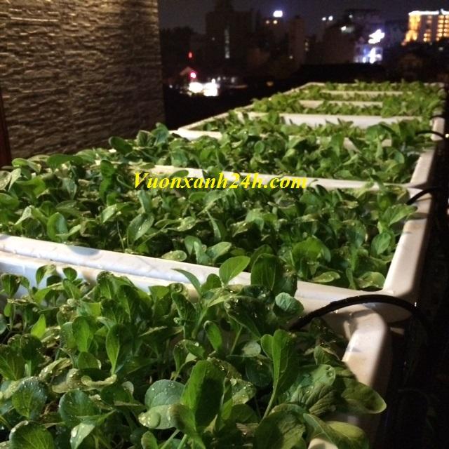 tự trồng rau chống ung thư
