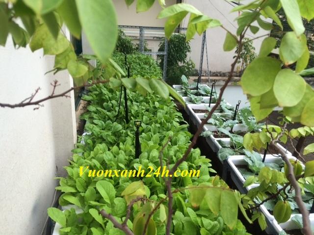 Trồng rau sạch tại nhà - Vườn xanh 24h