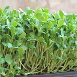 Hạt giống rau mầm cải Italia