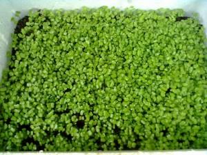 Hạt rau giống mầm đậu cove