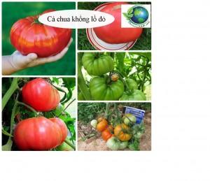 Cà chua khổng lồ 1,2kg