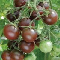 hạt giống cà chua socola