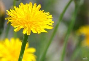 Hạt giống hoa Bồ Công Anh.