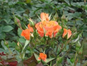 Hạt giống – hoa hồng tỉ muội