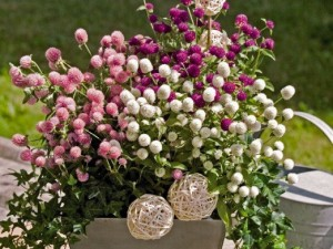 Hạt giống hoa Cúc Bách Nhật.