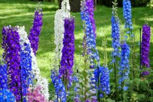 Hạt giống hoa phi yến thảo xanh