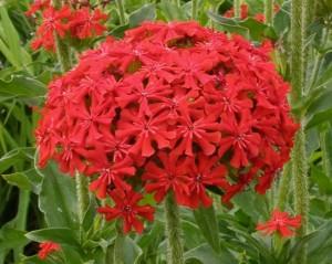 Hạt giống thu lá đỏ