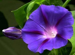 Hạt giống hoa bìm bịp