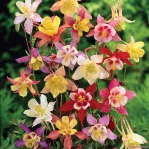Hạt giống hoa Bồ Câu Mix