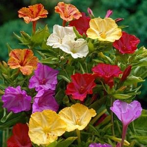 Hạt giống hoa Bông Phấn