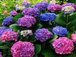 Hoa cẩm tú cầu nhiều màu.