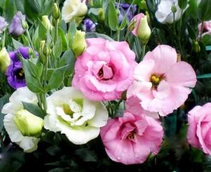 Hạt giống hoa Cát Tường.