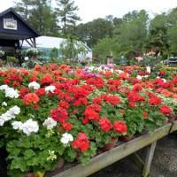 hoa-phong-lu-thao-geranium-mix-ruc-ro