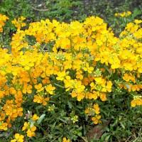 hoa quế trúc