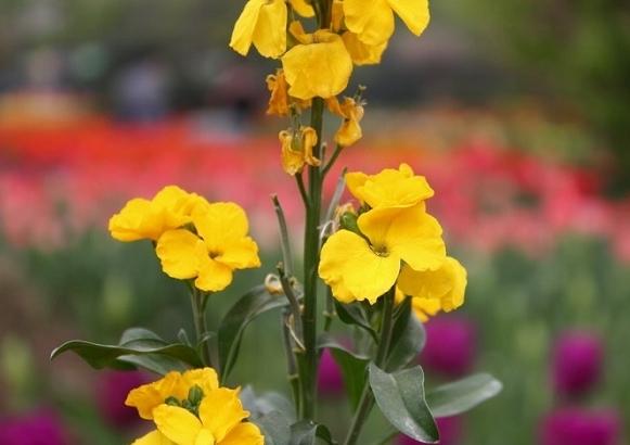 hoa quế trúc 3