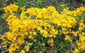Hạt giống hoa quế trúc