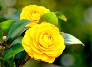 Hạt giống – Hoa Trà mi nhật