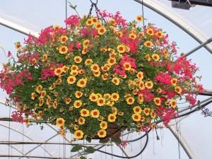 Hạt giống hoa triệu chuông