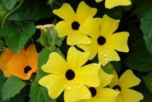 Hạt giống hoa Ánh Dương.
