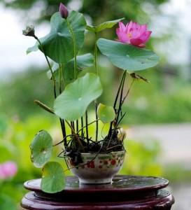 Hạt giống hoa sen nhật mini