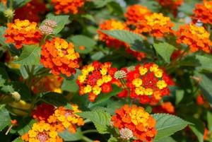 Hạt giống hoa ngũ sắc