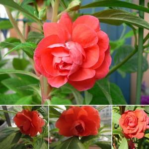 Hạt giống hoa móng tay kép đỏ