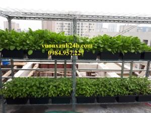 Vườn trồng rau sạch trên sân thượng tại Ngô Gia Tự