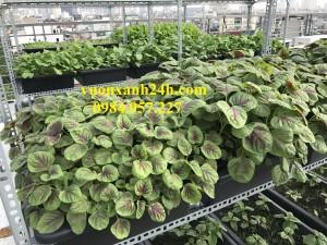 Giàn trồng rau 3 tầng, 15 chậu màu đen(68*43*16)