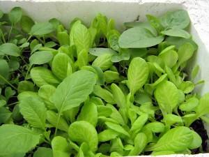Mẹo trồng rau cải ngọt xanh tốt, ít sâu bệnh
